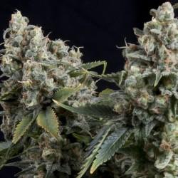 Auto Tutankhamon Cannabis Seeds