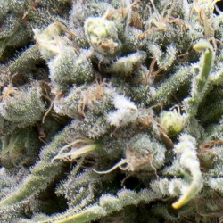 Auto White Widow Cannabis Seeds