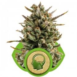 Amnesia Haze Auto Cannabis Seeds
