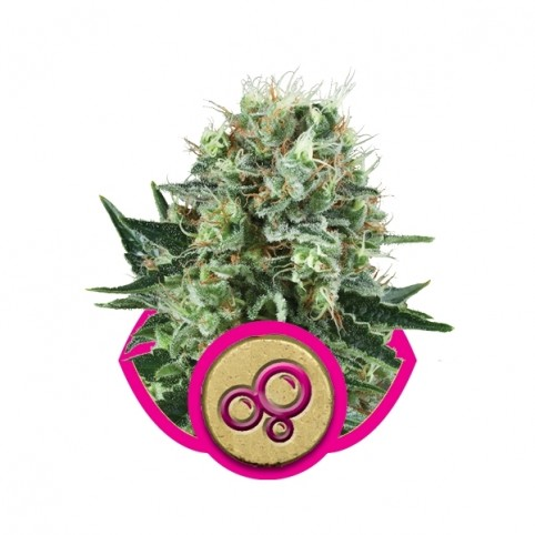 Bubble Kush Cannabis Seeds