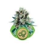 Bubble Kush Auto Cannabis Seeds