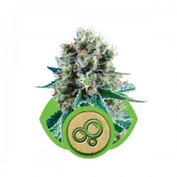 Bubble Kush Auto Cannabis Seeds