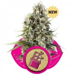 Chocolate Haze Cannabis Seeds