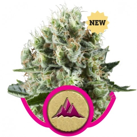 Critical Kush Cannabis Seeds