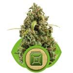 Diesel Auto Cannabis Seeds