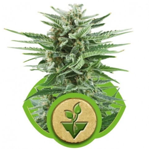 Easy Bud Cannabis Seeds