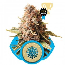 Euphoria Cannabis Seeds