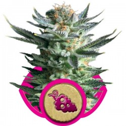 Fruit Spirit Cannabis Seeds