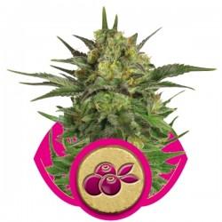 Haze Berry Cannabis Seeds