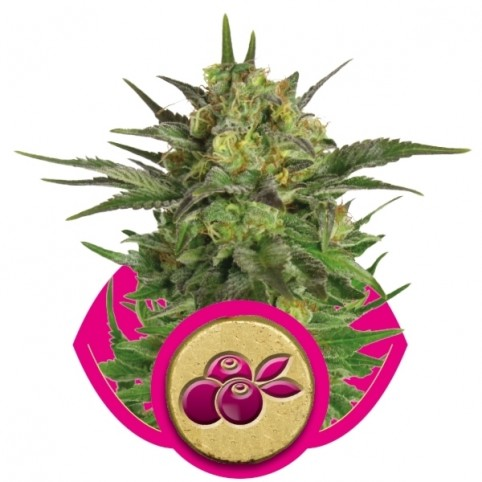 Haze Berry Cannabis Seeds