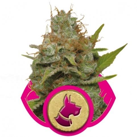 Kali Dog Cannabis Seeds
