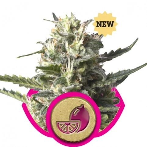 Lemon Haze Cannabis Seeds