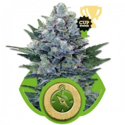 Northern Light Auto Cannabis Seeds