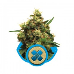 Painkiller XL Cannabis Seeds