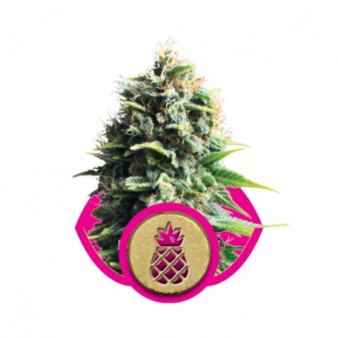 Pineapple Kush Cannabis Seeds