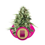 Royal AK Cannabis Seeds