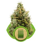 Royal AK Auto Cannabis Seeds