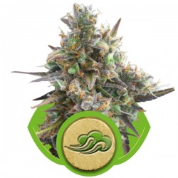 Royal Bluematic Cannabis Seeds
