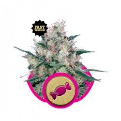 Royal Caramel Fast V Cannabis Seeds