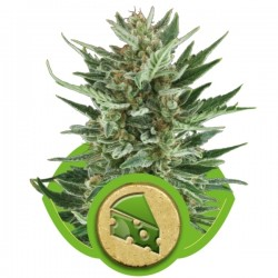 Royal Cheese Auto Cannabis Seeds