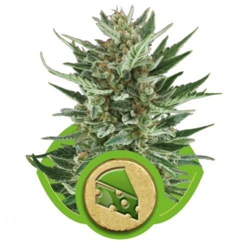 Royal Cheese Auto Cannabis Seeds