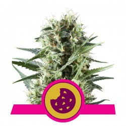 Royal Cookies Auto Cannabis Seeds