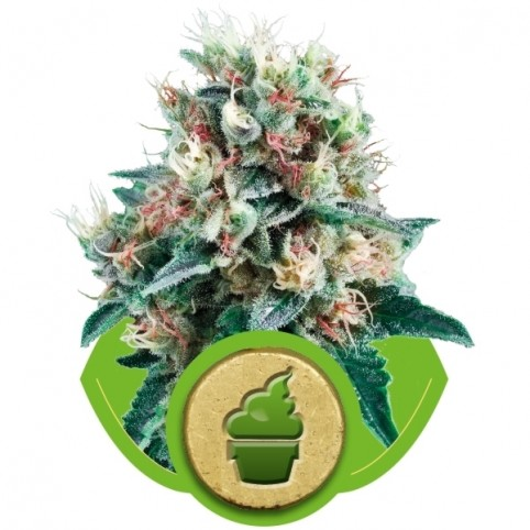 Royal Creamatic Cannabis Seeds