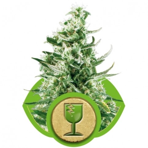 Royal Critical Auto Cannabis Seeds
