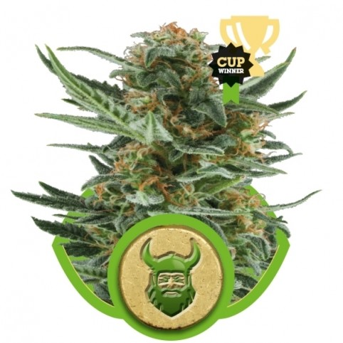 Royal Dwarf Cannabis Seeds