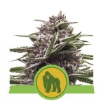 Royal Gorilla Auto Cannabis Seeds