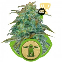 Royal Haze Auto Cannabis Seeds
