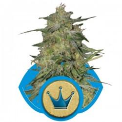 Royal Highness Cannabis Seeds