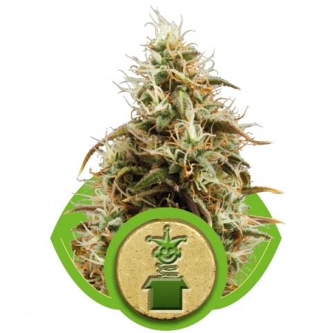 Royal Jack Auto Cannabis Seeds