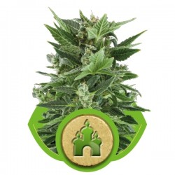 Royal Kush Automatic Cannabis Seeds