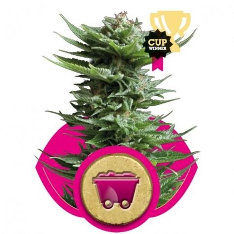 Shining Silver Haze Cannabis Seeds