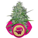 Skunk XL Cannabis Seeds