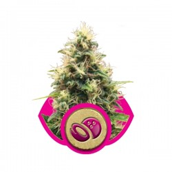 Somango XL Cannabis Seeds