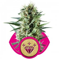 Special Kush #1 Cannabis Seeds