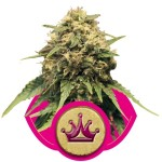 Special Queen #1 Cannabis Seeds