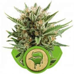 Sweet Skunk Auto Cannabis Seeds