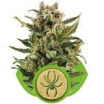 White Widow Auto Cannabis Seeds