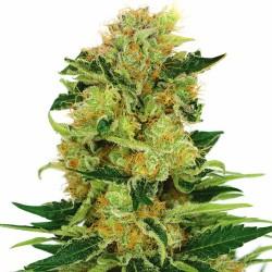 Amnesia - Bulk Cannabis Seeds