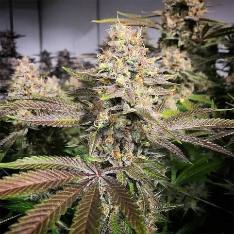 Auto Blueberry - Bulk Cannabis Seeds