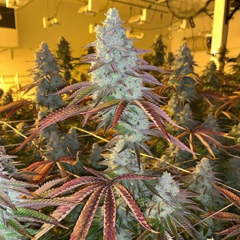Auto Diesel x Auto AK  - Bulk Cannabis Seeds