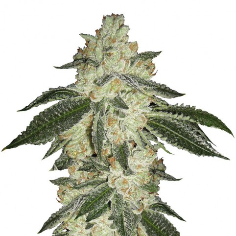 Green Crack - Bulk Cannabis Seeds