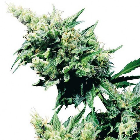 Hash Plant - Cannabis Seeds - Sensi Seeds