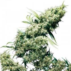 Jamaican Pearl Sensi Seeds