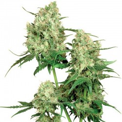 Maple Leaf Indica Sensi Seeds