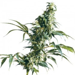 Mexican Sativa Sensi Seeds
