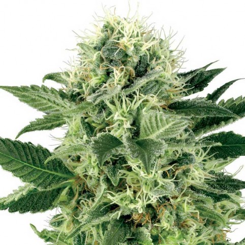 Northern Lights Sensi Seeds